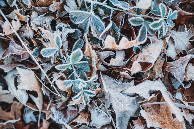 Frost covering leaves on the ground
