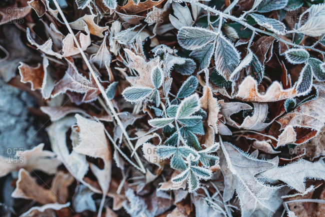 Frost covering fallen leaves on the ground