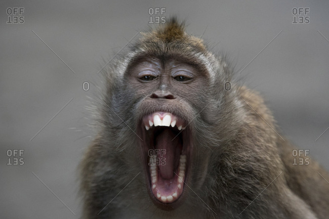 Close-up portrait of monkey with mouth open sitting outdoors