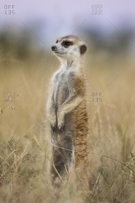 Africa, Botswana, Makgadikgadi Pan National Park, Meerkat (Suricata suricatta) standing above burrow in Kalahari Desert