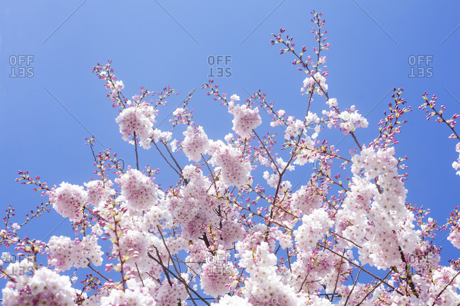 Cherry tree blossoms against blue sky