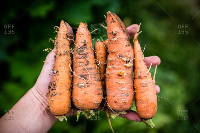 Close up of little hand holding carrots freshly pulled from ground