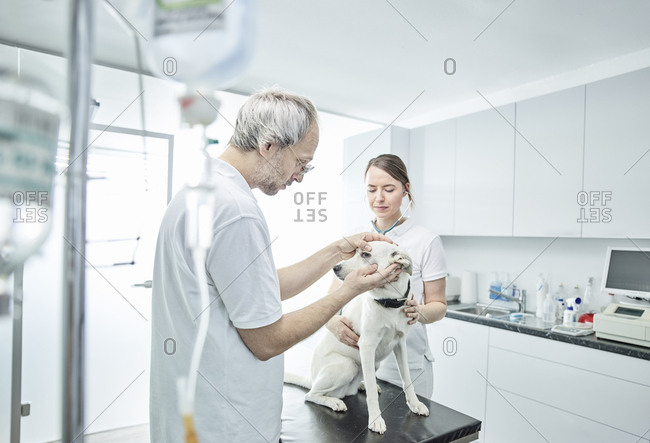 Veterinarian examining dog's eye- veterinarian assistant