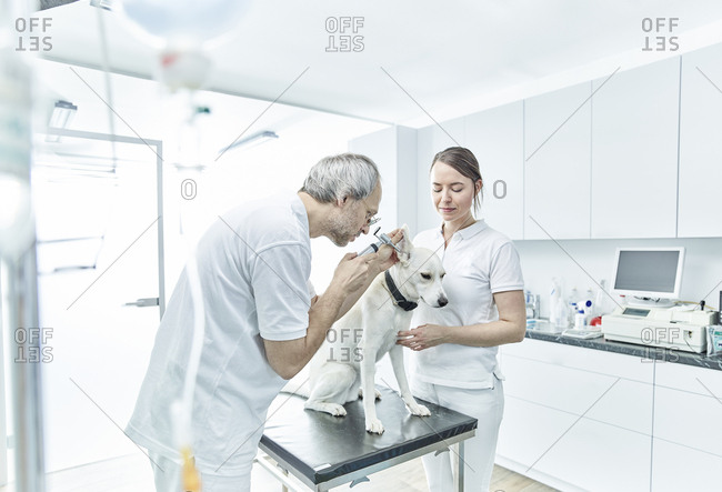 Veterinarian and his assistant examining ear of a dog