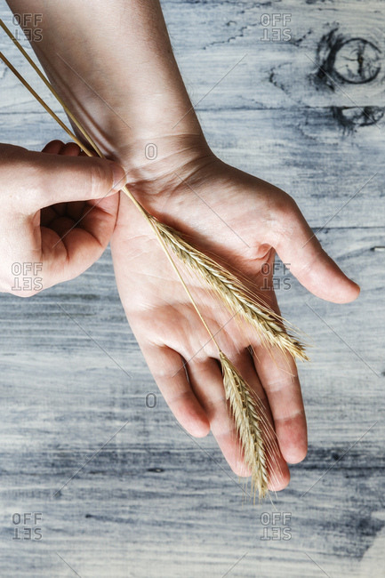Two rye ears on man's palm