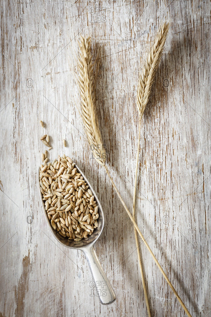 Two rye spikes and shovel of rye grains