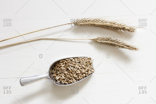 Two rye spikes and shovel of rye grains on light background