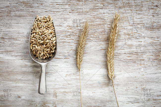 Shovel of rye grains and two rye spikes