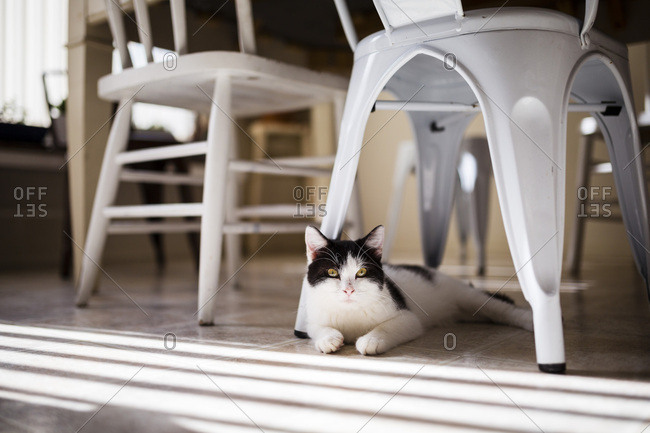 Portrait of cat lying under dining table