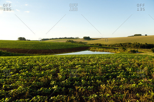 April 6, 2018: Soya Plantation In Santa Barbara Do Sul, Rio Grande Do Sul, Brazil