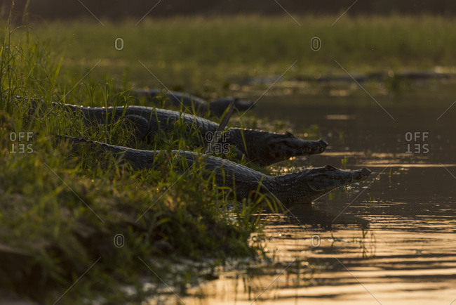 Three Yacare Caiman (Caiman Yacare) In Shallows At Sunset; Mato Grosso Do Sul, Brazil