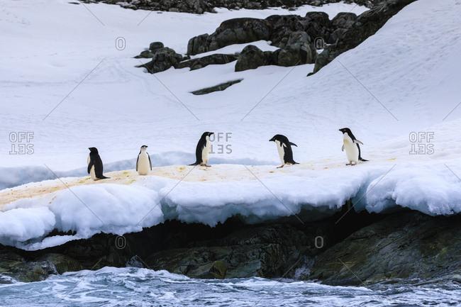 Chinstrap (Pygoscelis antarcticus) and Adelie Penguins (Pygoscelis adeliae), Torgersen Island, Antarctic Peninsula, Antarctica, Polar Regions