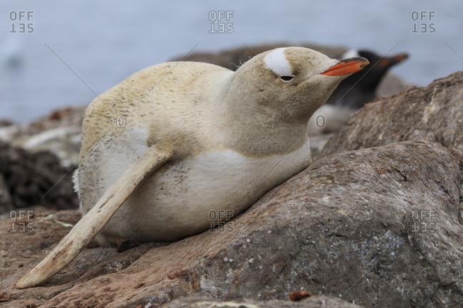 Rare leucistic gentoo penguin (Pygoscelis papua), Gonzalez Videla Station, Waterboat Point, Paradise Bay, Antarctica, Polar Regions