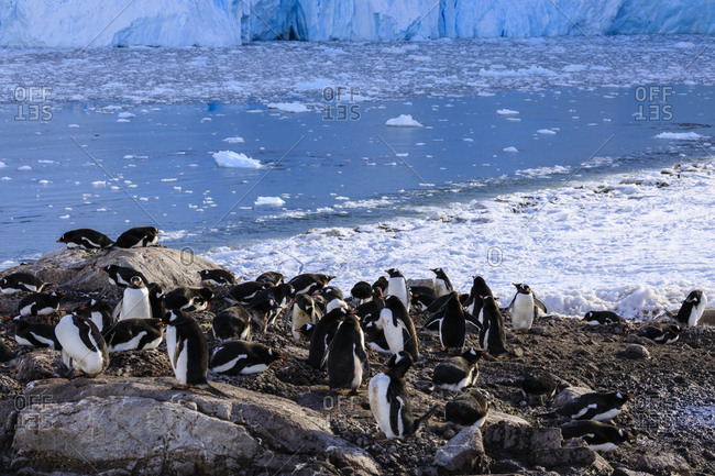 Gentoo penguin (Pygoscelis papua) colony above icy Neko Harbor, early morning, Graham Land, Antarctic Continent, Antarctica, Polar Regions