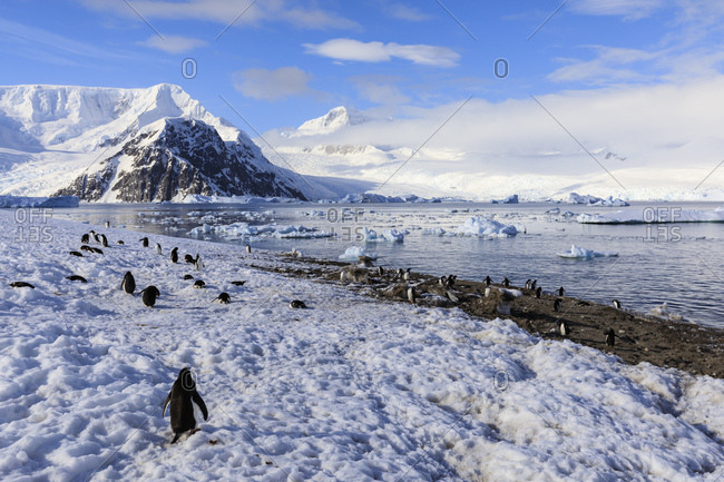 Gentoo penguins (Pygoscelis papua) and stunning scenery, early morning sun and mist, Neko Harbor, Graham Land, Antarctica, Polar Regions