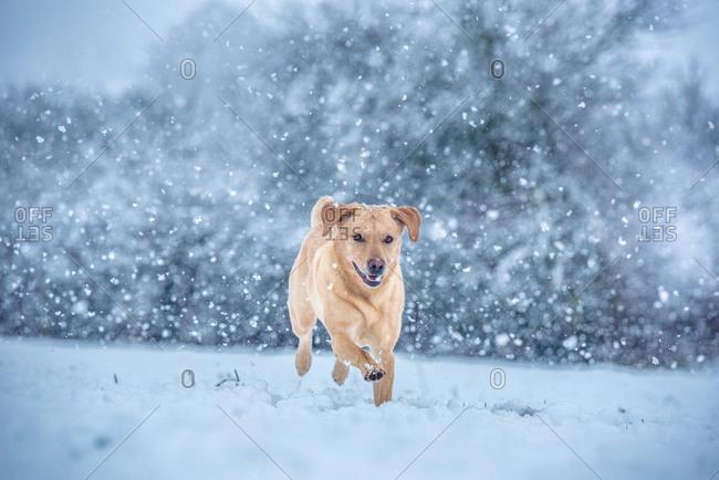 Golden Labrador in the snow, United Kingdom, Europe