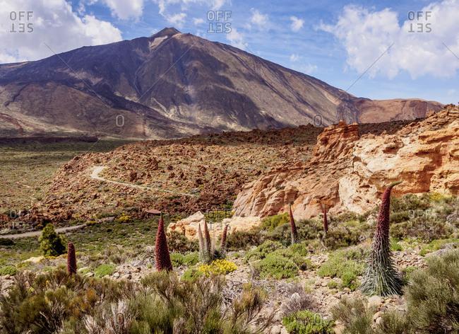 Tajinaste Rojo (Echium Wildpretii), endemic plant, Teide in the background, Teide National Park, UNESCO World Heritage Site, Tenerife, Canary Islands, Spain, Europe