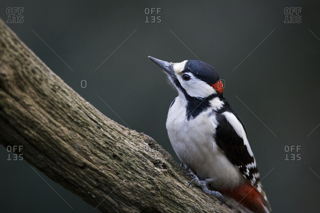 Close-up of woodpecker perching outdoors