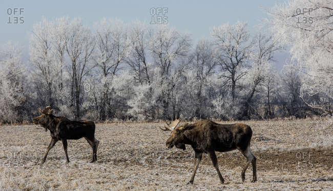Side view of moose standing on field at forest during winter