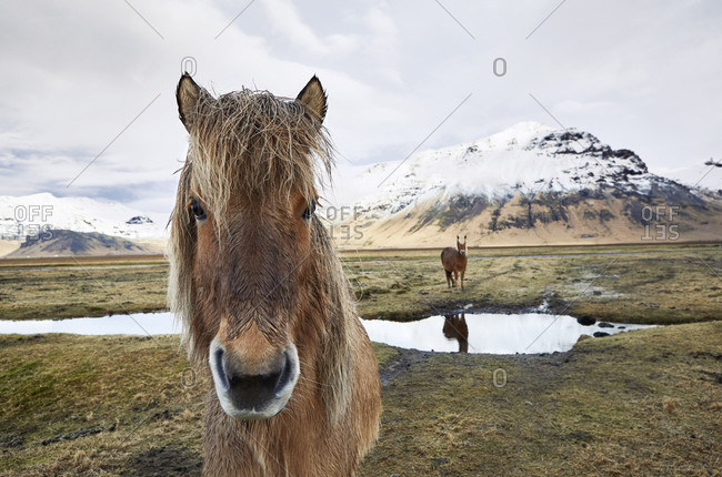 Portrait of Icelandic horse standing on field against cloudy sky during winter