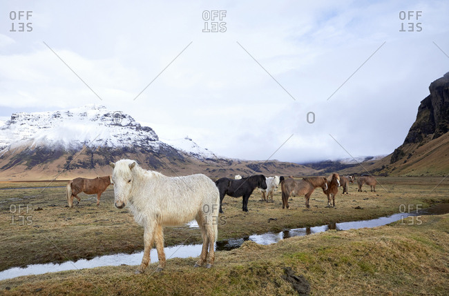 Icelandic horses on grassy field against cloudy sky