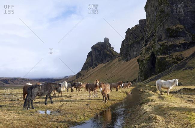 Icelandic horses standing on grassy field against mountain