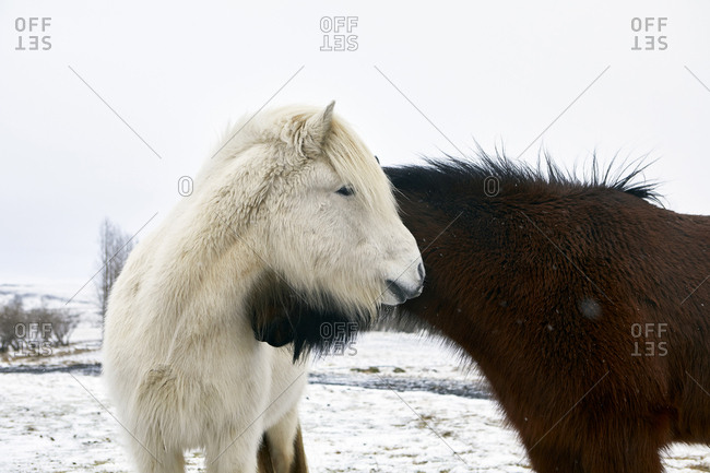 Icelandic Horses standing on snowy field during winter
