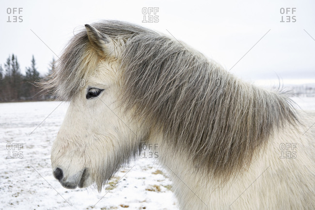 Side view of Icelandic Horse standing on field during winter