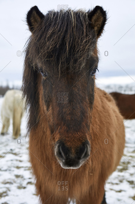 Portrait of Icelandic Horse standing on snowy field during winter