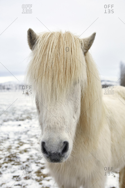 Icelandic Horse standing on field during winter