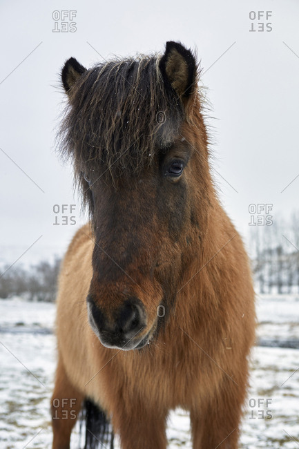 Portrait of Icelandic Horse standing on field during winter