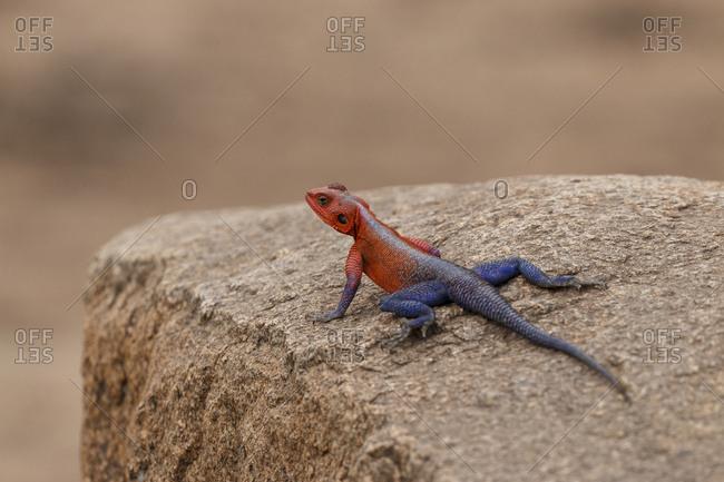 Close-up of Agama lizard on rock at Serengeti National Park