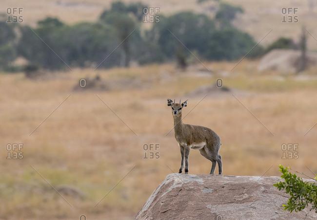 Klipspringer standing on rock at Serengeti National Park