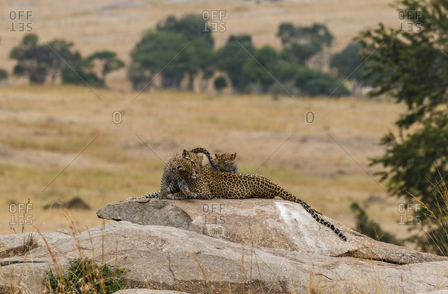 Leopardess with leopard cubs on rock at Serengeti National Park