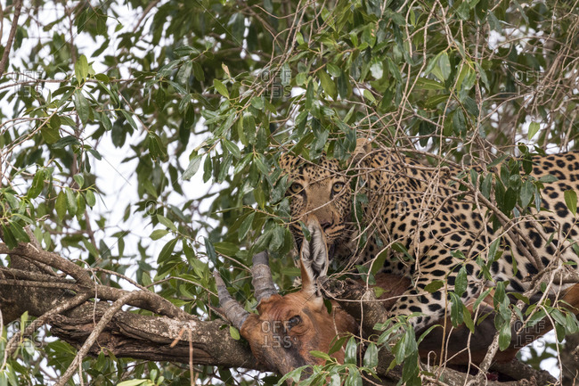 Leopard with dead topi amidst branches on tree
