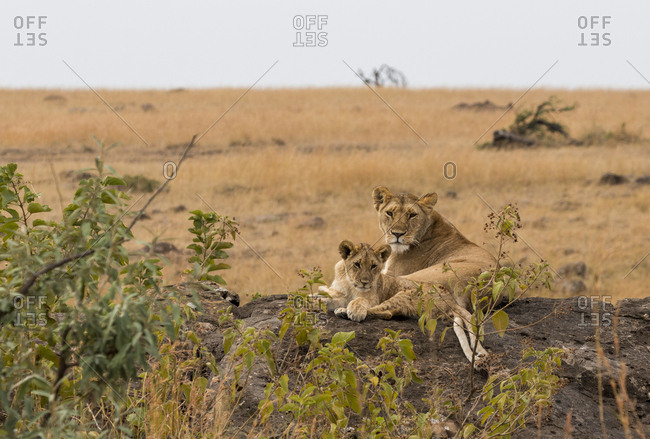 Lioness and lion cub sitting on rock