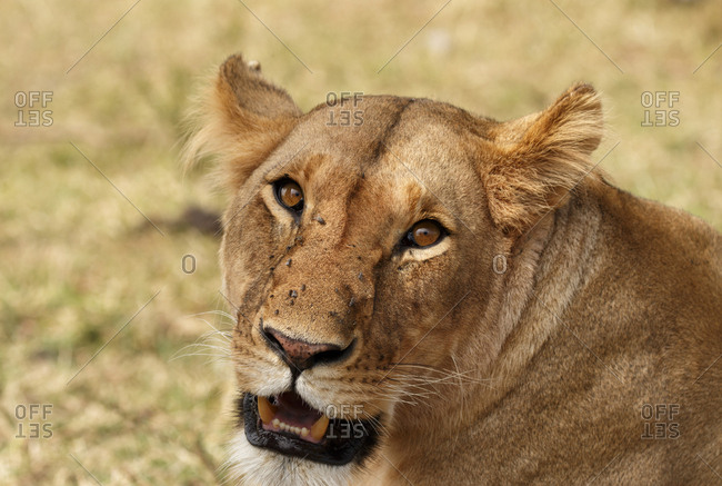 Close-up portrait of lioness on field