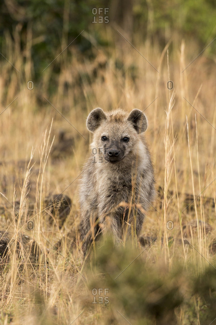 Portrait of hyena sitting amidst grassy field