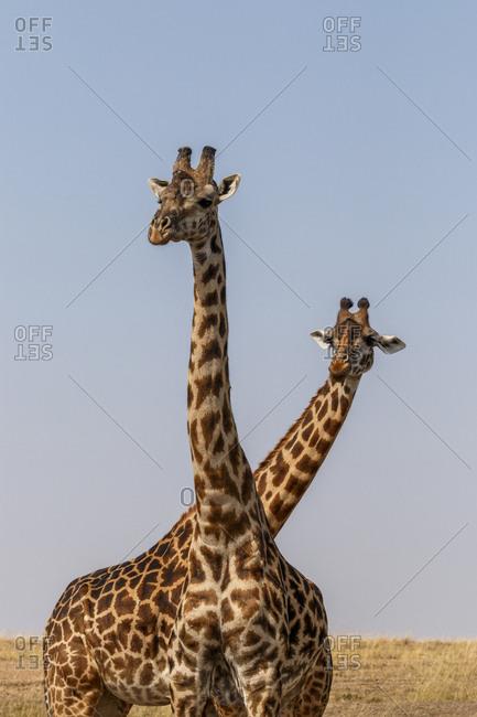 Giraffes standing on field against sky