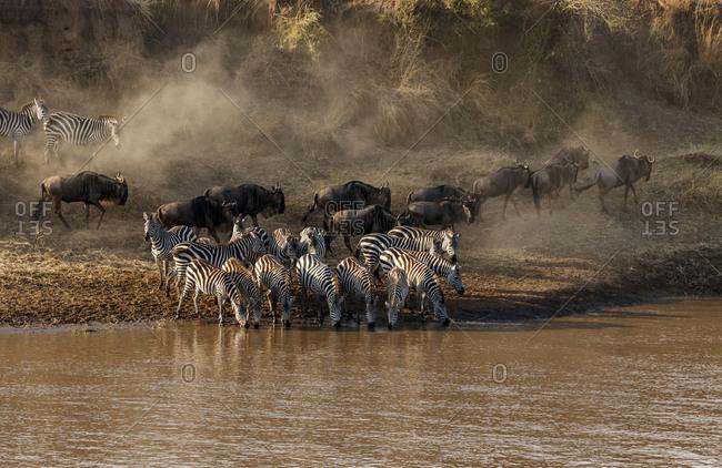 Wildebeest and zebras at riverbank at Serengeti National Park
