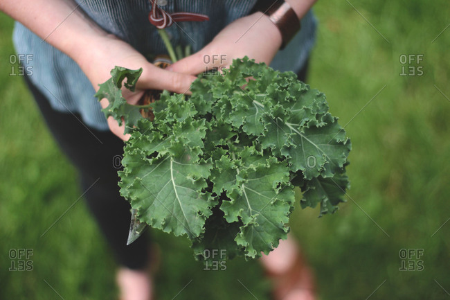 Close up of hands holding bunch of kale leaves