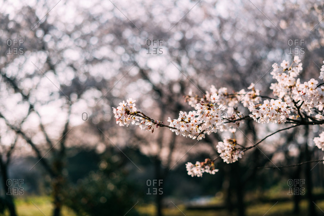 Close up of cherry blossoms in bloom in Jeju Island, Korea