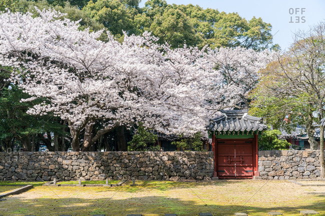 Cherry tree in full bloom sheltering traditional  gate set in stone wall in Jeju Island, Korea
