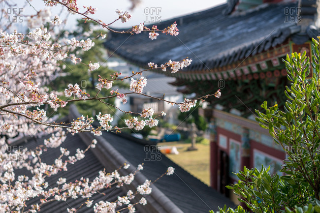 Cherry blossoms on branch with roof of temple in background in Jeju Island, Korea
