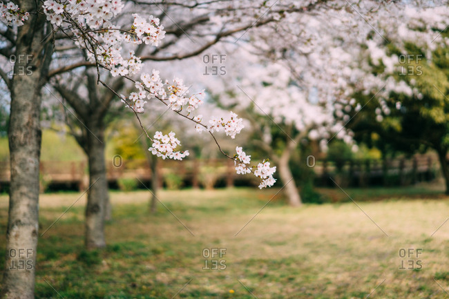 Close up of cherry blossoms in full bloom in park in Jeju Island, Korea