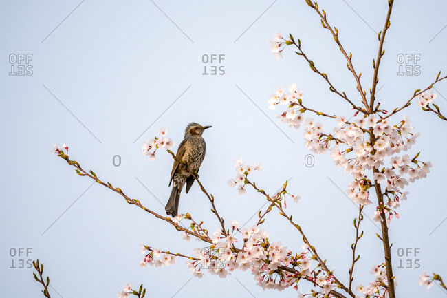Brown-eared bulbul perched on branch of cherry tree in bloom