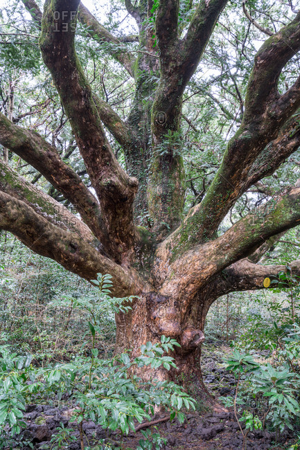 Japanese nutmeg-yew tree in a clearing in the forest in Jeju Island, Korea