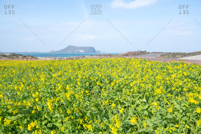 Looking out over a field of oilseed rape flowers towards the volcanic cone of Seongsan Ilchulbong