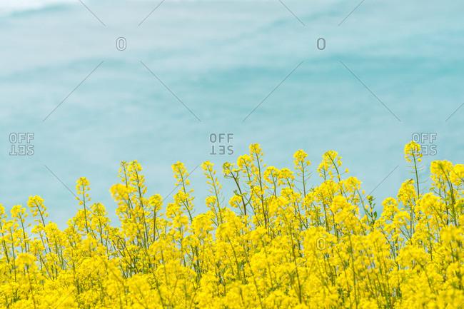 Rape flowers against a blue sky