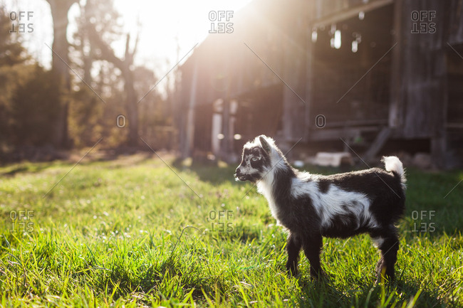 Little baby goat standing in front of barn